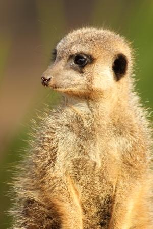 Meerkat looking sideways