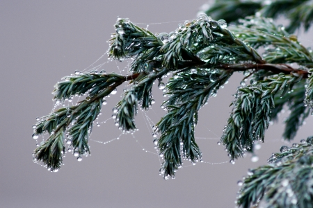 Fir tree branch bound in spider web and covered in water droplets photo