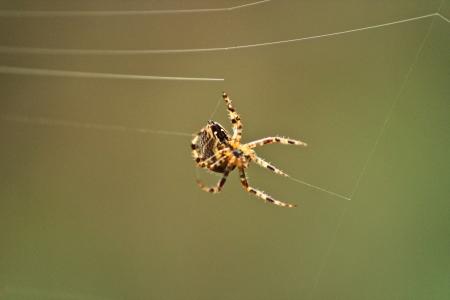 A garden spider spinning a new web