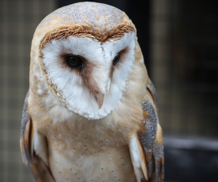 buff: Barn Owl with wings folded and close-up of face
