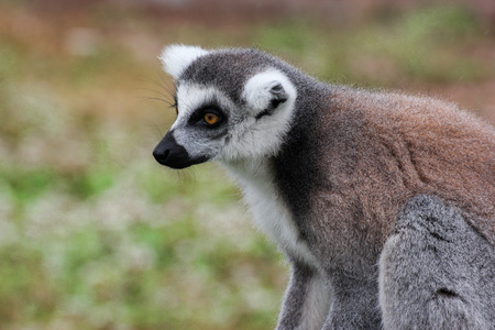 ring tailed: Ring tailed lemur sits alone with natural backdrop