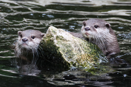 clinging: Pair of otters with clear faces in river and clinging to a rock Stock Photo