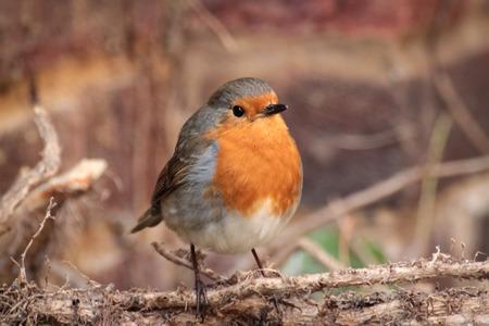breast animal: Robin with brick wall behind
