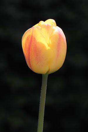 bright yellow orange tulip catching the sunlight with dark background Stock Photo