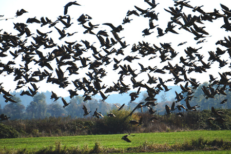 Flock of migrating Canadian Geese taking flight 写真素材