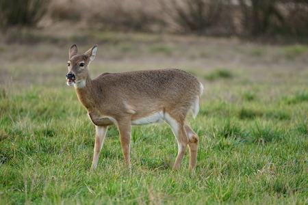 Endangered female Columbian White-tailed deer eating
