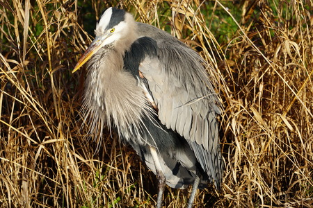 Close-up of Great Blue Heron standing in wetlands
