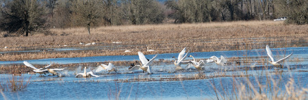 Trumpeter Swans taking off from water Stock Photo