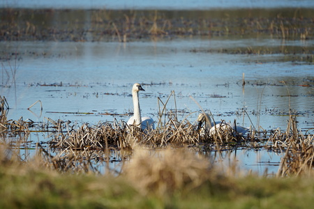 Trumpeter Swans hiding in marsh Stock Photo