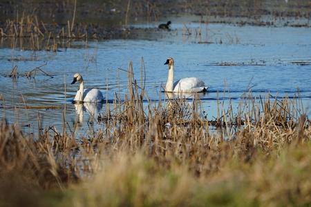 Trumpeter Swans floating in wetlands