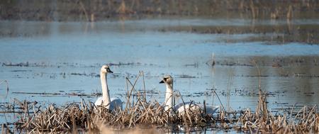 Pair of Trumpeter Swans resting in marsh