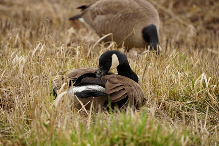 Beautiful winter migrating Canadian Goose resting on grasses in wetlands