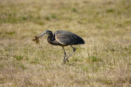 Great Blue Heron hunting and captured rodent