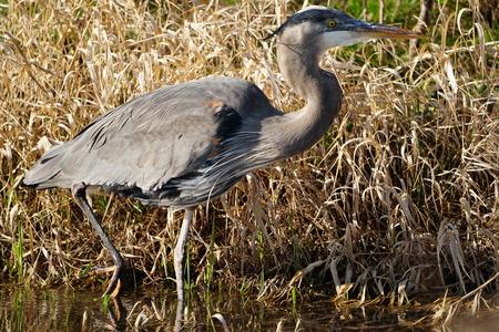 Close-up of Great Blue Heron walking through wetlands Stockfoto