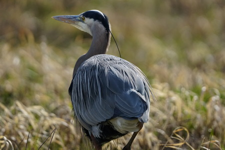 Close-up of Great Blue Heron moving away from camera
