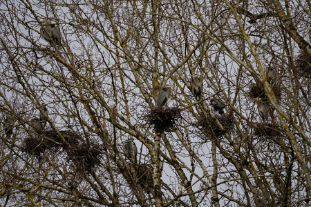 Great Blue Heron breeding colongy in the trees with their nests