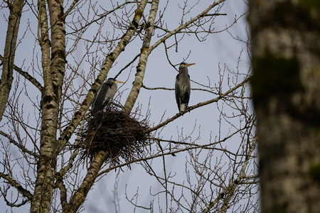 Pair of Great Blue Herons by their nest at the top of tree