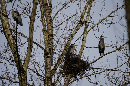 Great Blue Heron in a rookery standing on the branches by nests