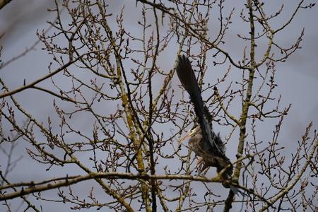 Great Blue Heron landing on tree branch Stockfoto