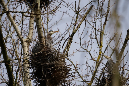 Head of nesting Great Blue Heron looking out of nest