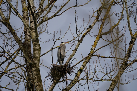 Lone Great Blue Heron waiting in a rookery for partner