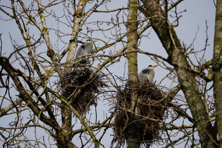 Two nest with Great Blue Herons standing in nest in a rookery Stock Photo