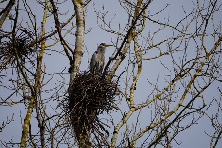 Great Blue Heron standing at edge of nest overlooking the wetlands Stock Photo