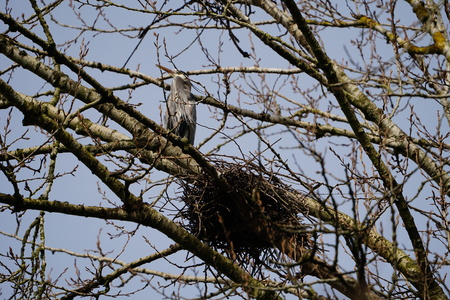 Great Blue Heron by nest at the top of a tree
