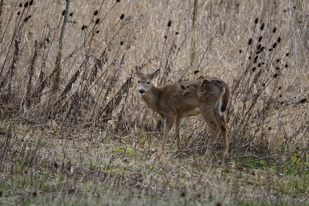 Close-up of female Columbian White-tailed deer grazing in wetlands