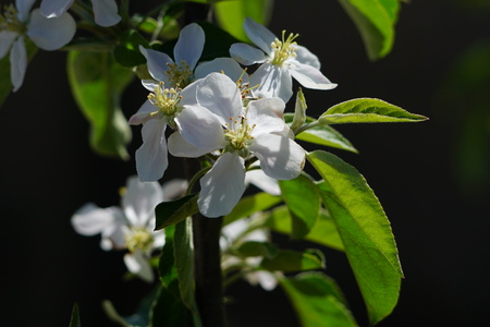 Close-up of apple blossoms in Spring Stock fotó
