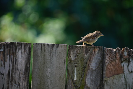Common sparrow walking along top of old fence