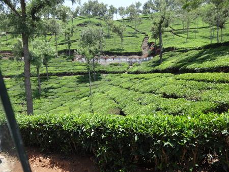 tea garden at ooty Stock Photo