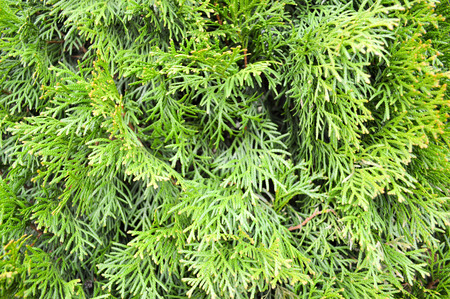 Texture of green small bright beautiful larch tree leaves background