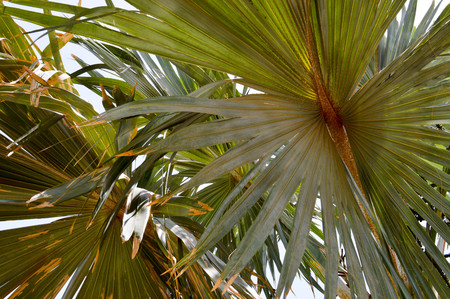 Texture green, brown fluffy natural plant with oblong palm-like leaves under the light of the sun, exotic unusual heat-resistant plant with singed ends, background. Stock Photo