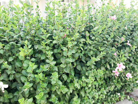 A bush of beautiful festive pink colorful violet natural gentle bright flowers with a wall with petals against the background of green plant leaves and copy space Stock Photo