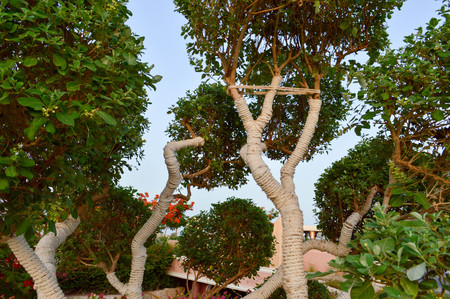 A beautiful unusual exotic tree with green leaves branches and trunk wrapped, wrapped in a white rope, threads, curling. Imagens