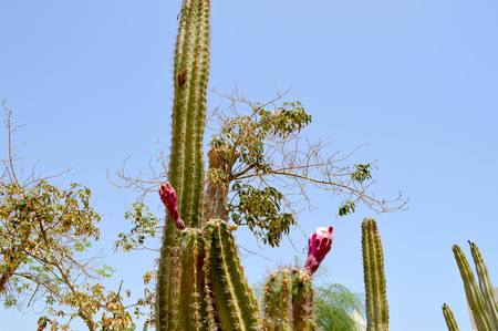 The texture of a green prickly natural Mexican hot fresh strong beautiful desert cactus with thorns and sand.