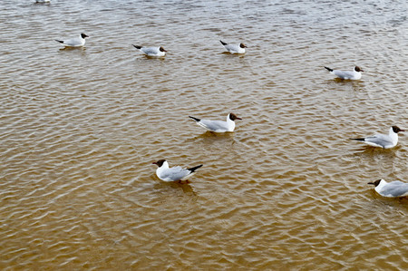Many gulls of ducks of birds on the lake with yellow turbid water on the beach on the beach. Фото со стока