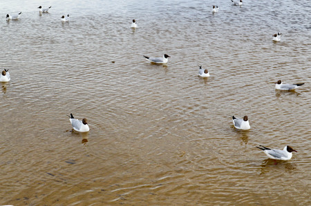 Many gulls of ducks of birds on the lake with yellow turbid water on the beach on the beach. Фото со стока