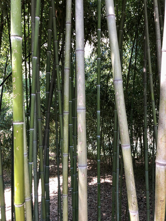 Many green tree trunks of bamboo tubes are tall and flexible with a strong and solid hollow stem in a tropical and subtropical forest. Texture. The background.