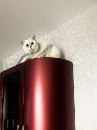 small white kitten sits on top in the red kitchen. a cat with ears and green eyes plays with its owner. the pet is hiding on top of the closet. on a background of gray shiny wallpaper.