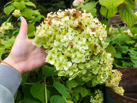 hydrangea white with many small flowers. girl with blue manicure holding a flower branch in her hands. the gardener takes care of fluffy and beautiful flowers.
