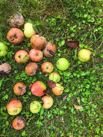 apples lie in a large heap on the grass. collected the fallen fruits of the tree. green, red, rotten apple fruits. against the background of yellow grass. apples for disposal, spoiled food with mold and rot.