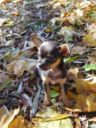 brown: Black & brown chihuahua puppy in autumn leaves profile Stock Photo