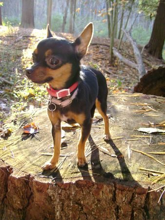 ny: Black and brown chihuahua standing on a tree stump in the woods backlit in buttermilk falls state park Ithaca NY