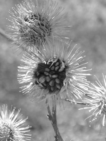 Close up of a burdock plant in black & white
