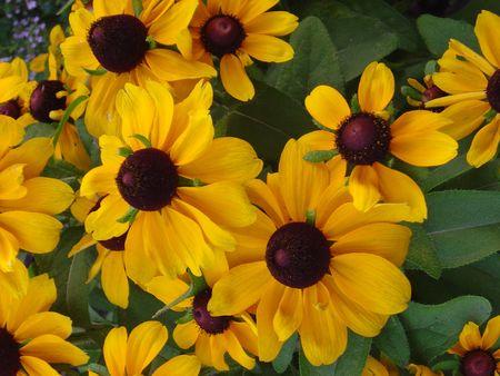 brown  eyed: Brown eyed susan flower bunch