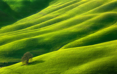 Spring. Lonely tree. Fields near Asciano. Tuscany.Italy
