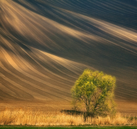 Czech Republic. South Moravia. Fields around town Kyjov. Lonely willow.