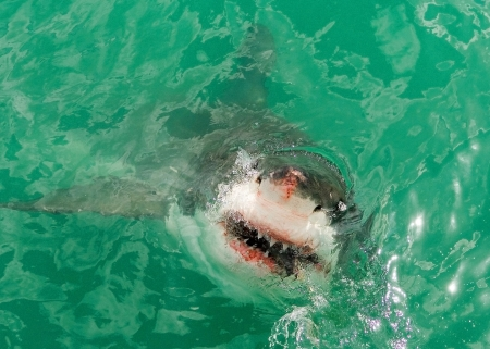 A young Great White Shark breaks the surface of the Indian Ocean off the Western Cape, South Africa photo